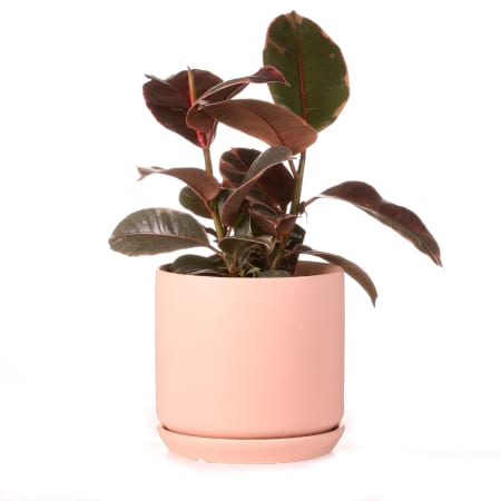 ficus elastica ruby in peach pot with saucer