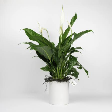 potted spathiphyllum peace lily plant